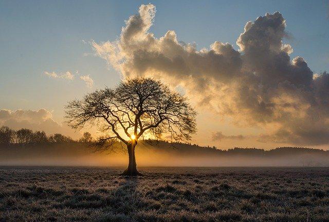 osamělý dub